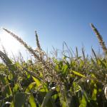 Удабрение кукурузы